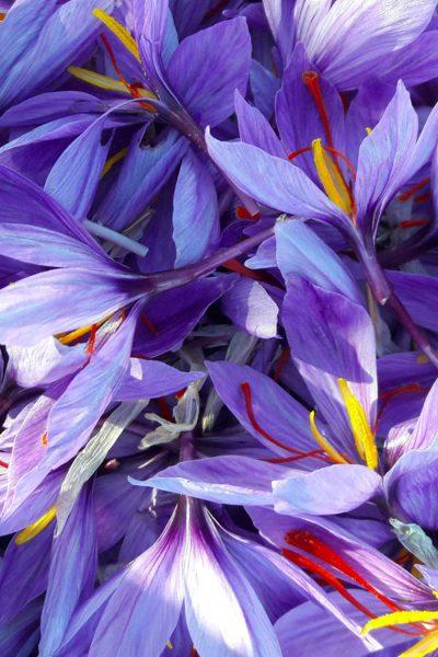 fiori-zafferano